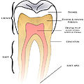 Basic anatomy tooth.jpg