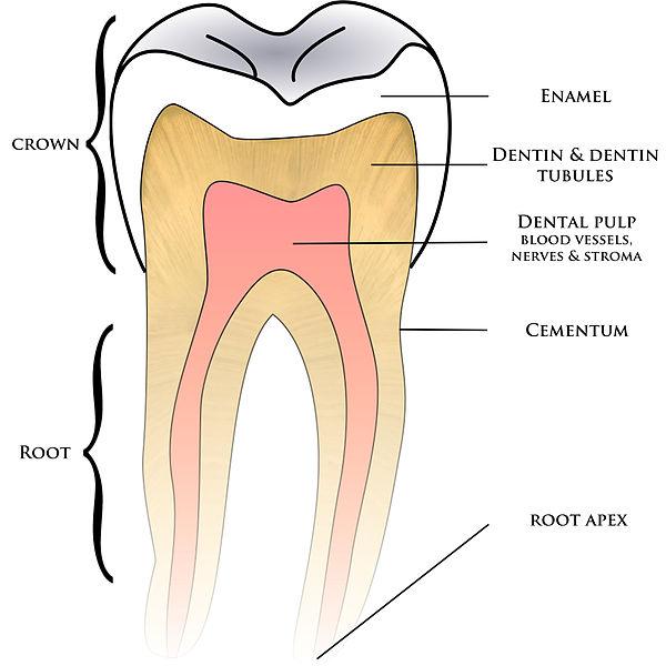 struktur anatomi gigi manusia