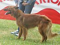 Basque Herder smooth-haired 1.jpg