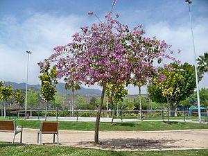 Bauhinia variegata - Image: Bauhinia variegata, Parque de la Alegría, Málaga (03)