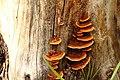 Baumstumpf mit Zaun-Blättling Gloeophyllum sepiarium 4077.jpg