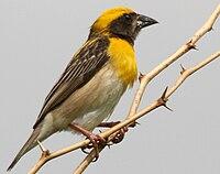 Baya Weaver (Ploceus philippinus)- Male W2 IMG 0709