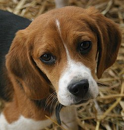 Beagle puppy portrait.jpg