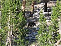 Bear at Charlotte Lake - panoramio.jpg