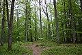 Beautiful swedish beech forest in Osby, näset.jpg