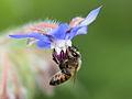 Bee - 蜂(はち) (7399076620).jpg