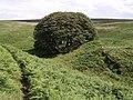 Beech trees on sheepfold - geograph.org.uk - 496933.jpg