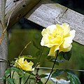 Beer garden yellow rose at Staplefield, West Sussex, England.jpg
