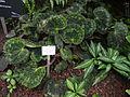 Begonia sizemoreae - Palmengarten Frankfurt - DSC01835.JPG