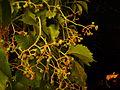 Bellissima (Araneus diadematus) hiding 3.JPG