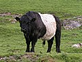 Belted Galloway bull - geograph.org.uk - 188084.jpg