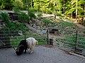Bergtierpark Erlenbach männliche Walliser Schwarzhalsziege.JPG