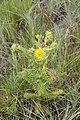 Berkheya sp. (Asteraceae) (4756628363).jpg