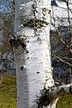 Betula grossa - Bark (2).JPG