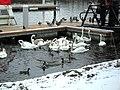 Bevy of swans at Round 'O' Quay, Enniskillen - geograph.org.uk - 1719771.jpg