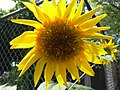 Big yellow sunflower (222337956).jpg