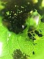 Biosphaerengebiet Schwaebische Alb Blattlaeuse.jpg
