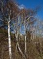 Birches in Norrkila.jpg