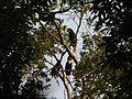 Bird Wreathed Hornbill Rhyticeros undulatus IMG 9195 (9).jpg