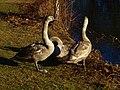 Birds of Großer Garten, Dresden (905).jpg