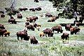 Bison with Calves, Custer State Park, 1981 (6217630273).jpg