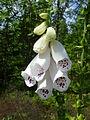 Blüte des Weißen Fingerhut.JPG
