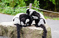 Black-and-white ruffed lemur 03.jpg