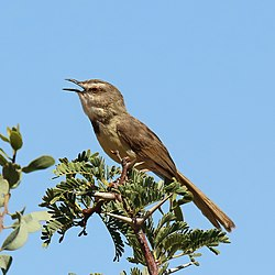 Black-chested prinia (Prinia flavicans) breeding female.jpg