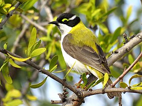Black-chinned Honeyeater (Melithreptus gularis).jpg