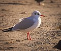 Black-headed gull (30646295233).jpg