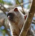 Black-tailed Marmoset (Callithrix melanura) (31674402872).jpg