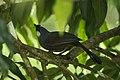 Black-throated Laughingthrush - Thailand S4E5682 (19493737731).jpg