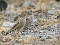 Black-winged Snowfinch (Montifringilla adamsi) (46212455251).jpg