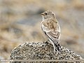 Black-winged Snowfinch (Montifringilla adamsi) (46544870354).jpg