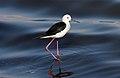 Black-winged Stilt (Himantopus himantopus) (44730874990).jpg