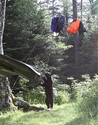 Hazards of outdoor recreation -  Harmful encounters between animals and people can occur when animals try to get human food. Above a Black Bear is unsuccessful getting into backpacks because they are hung out of reach. Proper food storage protects both people and animals.