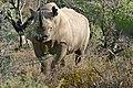 Black Rhinoceros (Diceros bicornis) (32197691303).jpg