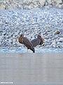 Black Stork (Ciconia nigra) (45298941655).jpg