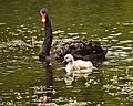 Black Swan and Cygnet... (8167988334).jpg