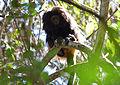 Black lion tamarin Pontal do Paranapanema 2.jpg