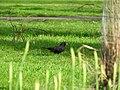 Blackbird (33052841252).jpg