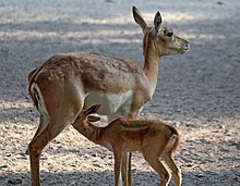 Blackbuck mother and child.jpg