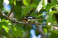 Blackburnian Warbler Setophaga fusca, Nahant, MA 1.jpg
