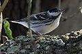 Blackpoll Warbler (male) Sabine Woods TX 2018-04-22 14-43-57-2 (28120499738).jpg