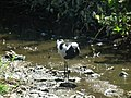 Blacksmith lapwing in Tanzania 2890 Nevit.jpg