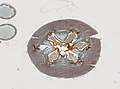Blattodea (YPM IZ 098973) 008.jpeg