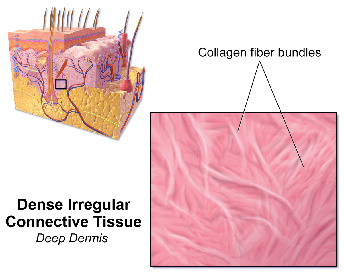 Dense Irregular Connective Tissue Wikipedia