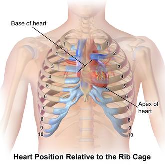 Thoracic cavity - Image: Blausen 0467 Heart Location