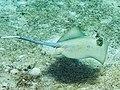 Blue-spotted stingray (Neotrygon kuhlii) (47040795144).jpg