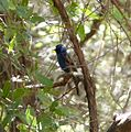 Blue Grosbeak. male. Guiraca caerulea (1) - Flickr - gailhampshire.jpg